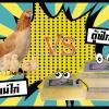 ตู้ฟักไข่ VS แม่ไก่ฟักไข่